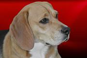 Beagle - A Hound's Hound Print by Christine Till