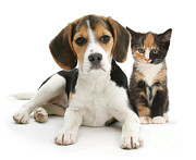 Domesticated Animal Framed Prints - Beagle And Calico Cat Framed Print by Mark Taylor