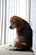 Beagle Attitude Print by Jennifer Lyon