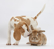 Sniffing Art - Beagle Pup Sniffing A Rabbit by Mark Taylor