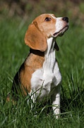 Beagle Photos - Beagle by Randall Ingalls
