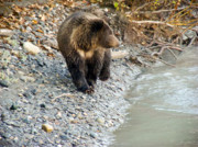 American Brown Bear Posters - Bear At The River Poster by Dora Miller
