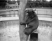 Zoo Photo Originals - Bear at the Zoo by Jan Faul