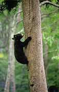 Black Bear Climbing Tree Posters - Bear Cub up a Tree Poster by Tony Gayhart