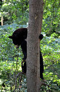 Black Bear Climbing Tree Posters - Bear Looking Down from Tree Poster by Eva Thomas