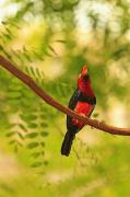 Plant Singing Prints - Bearded Barbet Print by Stuart Westmorland