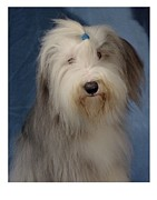 Collie Digital Art Posters - Bearded Collie 12 Poster by Larry Matthews