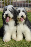 Shepherds Posters - Bearded Collie Poster by Amir Paz