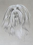 Collie Drawings Framed Prints - Bearded Collie Framed Print by Barbara Keith
