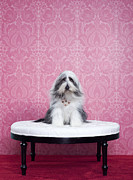 High Society Posters - Bearded Collie (canis Lupus Familiaris) On Chair Poster by Catherine Ledner