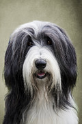 Mongrel Framed Prints - Bearded Collie Dog Framed Print by Ethiriel  Photography