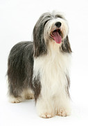 Collie Posters - Bearded Collie Poster by Mark Taylor