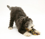 Toy Dog Posters - Bearded Collie Pup Playing Poster by Mark Taylor