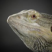 One Animal Posters - Bearded Dragon Poster by Darren Woolridge Photography - www.DarrenWoolridge.com