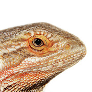 Animal Eye Prints - Bearded Dragon Print by Kelly Bowden