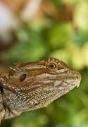 Lizards Photos - Bearded Dragon Lizard by John Short