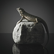 Studio Shot Art - Bearded Dragon On Rock by Darren Woolridge Photography - www.DarrenWoolridge.com