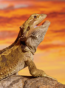 Colored Background Art - Bearded Dragon (pogona Vitticeps) On Rock, Close-up by Don Farrall