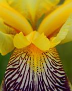 Bearded Iris Print by Mark J Seefeldt