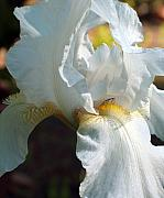 White Unicorn Photos - Bearded Iris by Racquel Morgan