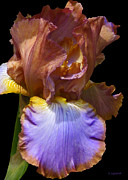 Kerri Ligatich Prints - Bearded Iris with Black Background Print by Kerri Ligatich