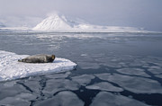 Featured Art - Bearded Seal On Ice Floe Norway by Flip Nicklin