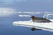 Bearded Seal Resting On Ice Floe Norway Print by Flip Nicklin