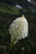 Basket Photo Originals - Beargrass Squaw Grass - 3 by Paul Cannon