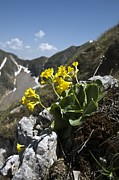 Primula Auricula Photos - Bears Ear Primrose (primula Auricula) by Paul Harcourt Davies