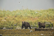 Tidal Creek Prints - Bears in the Rain Print by Tim Grams