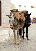 Mule Photos - Beasts of burden by Paul Cowan