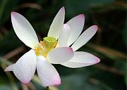 Sabrina L Ryan - Beatutiful Wet Lotus