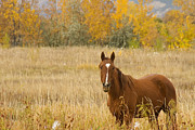 Horse Images Photo Framed Prints - Beautful Grazing Horse Framed Print by James Bo Insogna