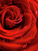 Sparkling Rose Metal Prints - Beautiful Abstract Red Rose Metal Print by Oleksiy Maksymenko
