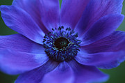 Blue Framed Prints Prints - Beautiful Anemone Print by Kathy Yates