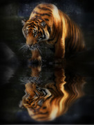 Tigers Framed Prints - Beautiful Animal Framed Print by Kym Clarke
