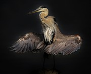 Beautiful Blue Heron Wings Print by Paulette  Thomas