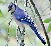Beautiful Blue Jay Print by Paulette Thomas