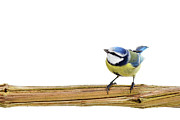 Cut-out Prints - Beautiful Blue Tit Print by MarcelTB