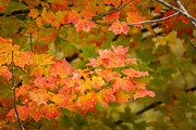 Fall Colors Autumn Colors Posters - Beautiful Branch Poster by Bill Pevlor