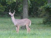 Barb Montanye Meseroll - Beautiful Buck