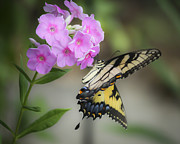 Phlox Metal Prints - Beautiful Butterfly Metal Print by Teresa Mucha