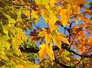 Yellow Leaves Posters - Beautiful Colorful Fall Tree Leaves art prints Autuman Poster by Baslee Troutman Fine Art Photography