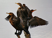 Beautiful Cormorants Print by Paulette  Thomas