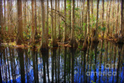 Florida Swamp Prints - Beautiful Day in the Cypress Swamp Print by Carol Groenen