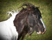 Gypsy Cob Framed Prints - Beautiful Django Framed Print by Terry Kirkland Cook