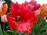 Phillie Metal Prints - Beautiful From Inside and Out - Parrot Tulips in Philadelphia Metal Print by Carol Senske