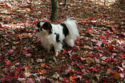 Japanese Chin Prints - Beautiful Girl on a Beautiful Day Print by Caroline Bogart