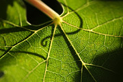 Viticulture Framed Prints - Beautiful Grape Leaf with Vine Shadow Framed Print by Andy Dean