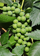 Green Grapes Prints - Beautiful Grapes Print by Carol Groenen
